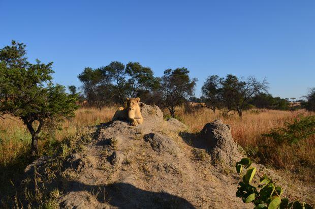 How do you train lions?